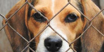 MONSTRUOSO: Legisladores bipartidários exigem respostas de Fauci sobre experimentos 'cruéis' com cachorros