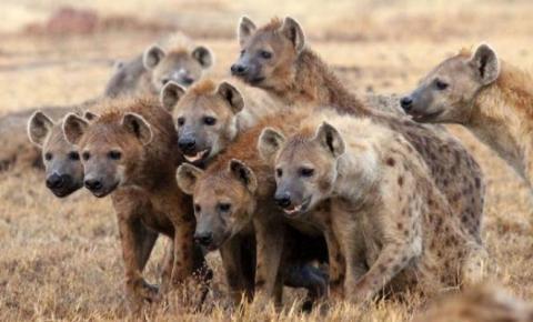 A alcateia de hienas não descansa